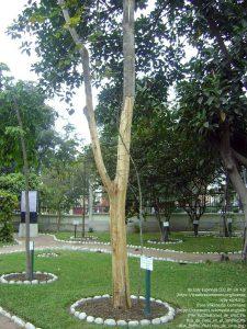 現地では「ウンニャ・デ・ガト(Una de Gato)」と呼ばれるキャッツクロー(リマ植物園/ペルー)