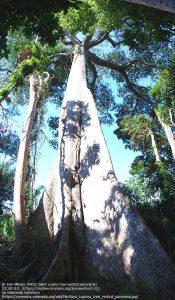 セイバの木(カポック)(ペルー)