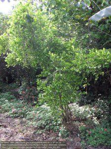 コカの木(コロンビア)
