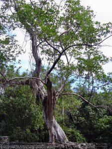大木に絡み付いているシメコロシイチジク(Ficus aurea)