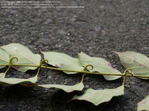 カギカズラ(和歌山県)/ 葉の付け根に、キャッツクローと同じような爪状の棘(とげ)がある。