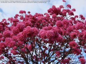 パウダルコの花(ブラジル)