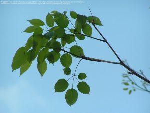パウダルコの葉