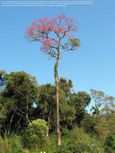 野生のパウダルコの木(パラグアイ)