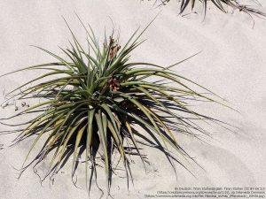 """エアープランツ / チランジア属の種""""チランジア・ラティフォリア(Tillandsia latifolia)"""" 砂漠の上を転がっている。"""