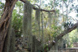 """エアープランツ / チランジア属の種""""サルオガセモドキ(Tillandsia usneoides)"""" 樹木の枝に絡まり垂れ下がっている。"""