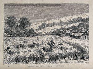 コカ畑で葉を収穫する女性たち(ボリビア / 1867年の木版画)