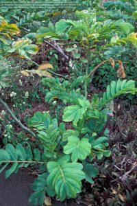 キャンドルブッシュの葉