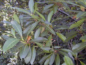"""キナの種""""Cinchona calisaya""""の枝と葉"""