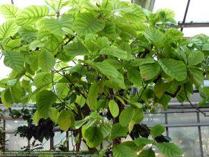 """キナの種""""Cinchona officinalis"""""""