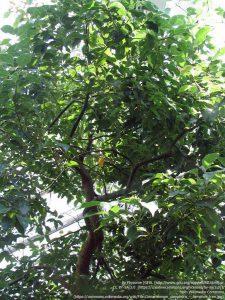 ホーリーフ(Cinnamomum camphora)の木