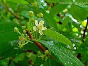 コカの葉と白い花