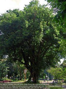 """マメ科ツルサイカチ属の種 """"ダルベルギア・ラッティフォリア(Dalbergia latifolia)"""" 和名「 マルバシタン」、通称「インディアン・ローズウッド」とも呼ばれる。"""