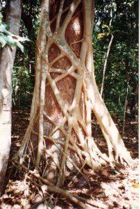"""シメコロシノキの一種・イチジク属の""""Ficus watkinsiana"""""""