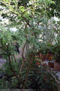 """近種の """"Guaiacum sanctum"""" の木"""
