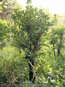 マテの木(ブラジル)