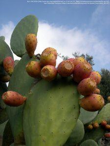 パレーラの葉(茎節)と果実