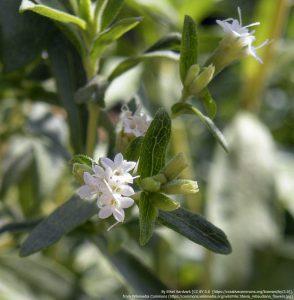 ステビア(Stevia rebaudiana)の葉と花