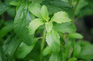 ステビアの葉