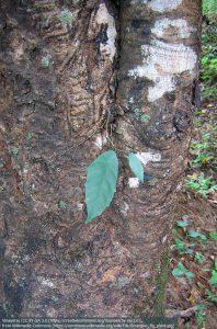 シメコロシイチジクの芽が、木の幹から出ている様子