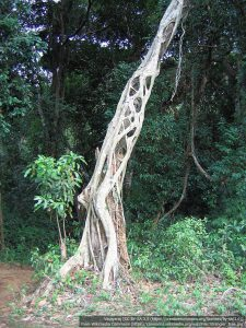 シメコロシイチジク / 宿主の木はすでに死んでいる。