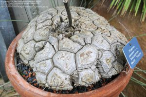 """ヤムイモの種 """"Dioscorea mexicana"""" / 鉢に添えられたプレートに「メキシコ・パナマ」と記載。"""
