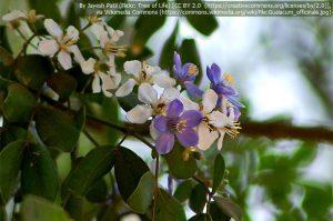 ユソウボクの花