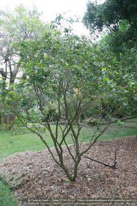 ユソウボクの木