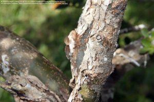 ユソウボクの木の幹