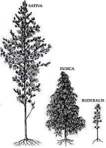 カンナビスの3つの種の背丈の違い / イラストの左より、Cannabis sativa, C. indica, C. ruderalis