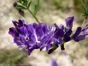 アルファルファの花