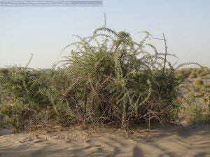 潅木の黒クコ(英名:Black Wolfberry、和名:黒クコ、学名:Lycium ruthenicum) / カザフスタン南部の草原の町バイコヌール(Baikonur)近郊