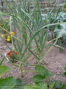 ニンニクの長い葉(栽培)