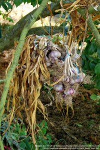 収穫後、つるして乾燥中のニンニクの球根