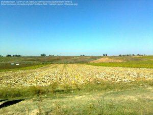 トウモロコシ畑(タシケント州・ウズベキスタン)