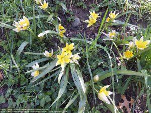 """チューリップの原種 """"トゥルキスタン・チューリップ(学名:Tulipa turkestanica)"""""""