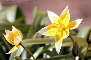 """チューリップの原種 """"トゥルキスタン・チューリップ(学名:Tulipa turkestanica)""""の花"""
