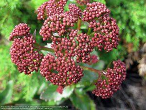 イワベンケイの赤い果実