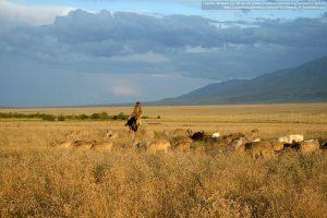 ステップでの牧畜(カザフスタン)