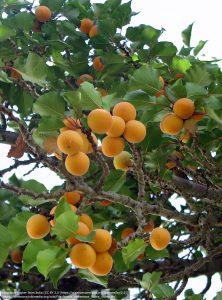 アプリコットの果実