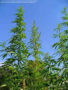 """アサの種""""Cannabis sativa"""" / 他のアサの種より背が高い"""