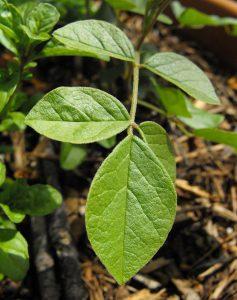 ウラルカンゾウの葉