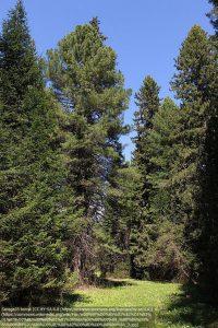 林の中のシベリアマツ(左右端からそれぞれ2本目の2本がシベリアマツ)(ロシア・トムスク地方)