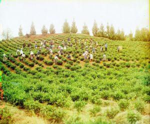 チャクヴィの茶畑(グルジア / 旧ソ連のコーカサス地方)(1905~1915年頃)