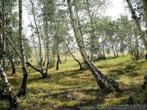 カバノキ属の白樺(white birch)の林