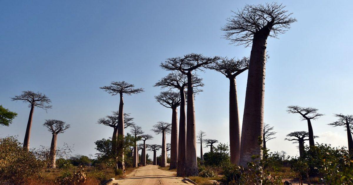 アフリカV ~ マダガスカル島の風土・植生とハーブ
