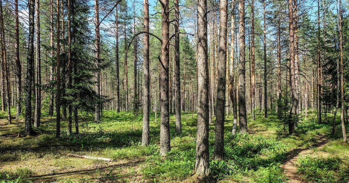 針葉樹林(ロシア)